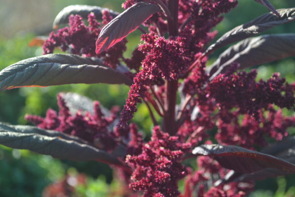 History of Amaranth