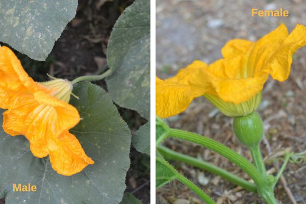 male and female squash flowers